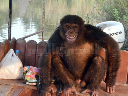 Zoo visitors escape angry chimpanzee, jump into crocodile