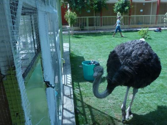 ostrich at Luxor Zoo