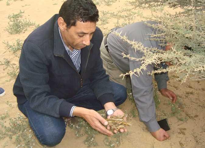 Egypt announces high alert to confront desert locusts