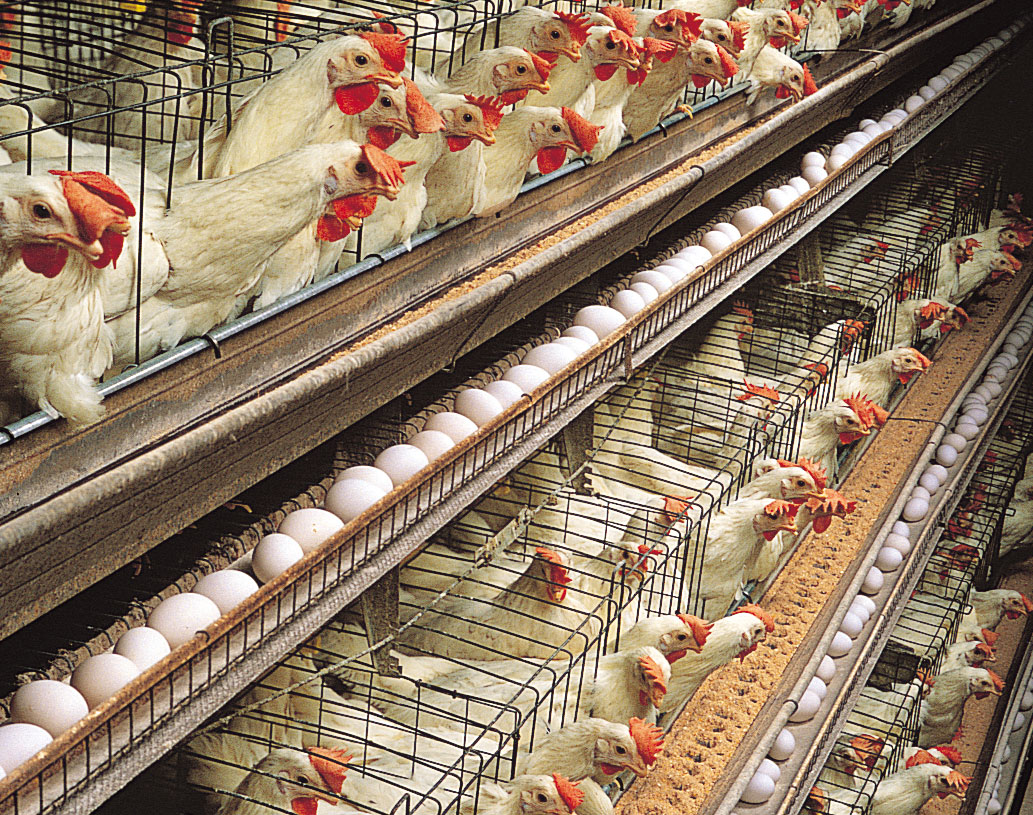 World Organization for Animal Health lists Egypt as free of bird flu and  ready to export - Egypt Independent