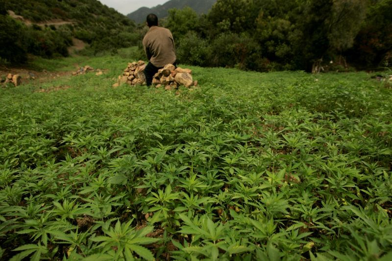 Morocco set to legalize cannabis production for medical use